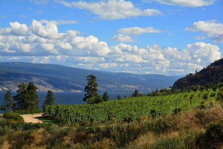 Vines and vineyards of the Okanagan Valley at Kelowna.