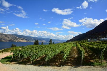 Vines and vineyards of the Okanagan Valley at Kelowna Stock Photo