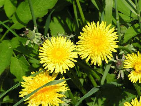 ablooming: Three dandelions