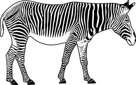 dobbin: Zebra. Contour. Vector illustration. It is isolated on a white background.