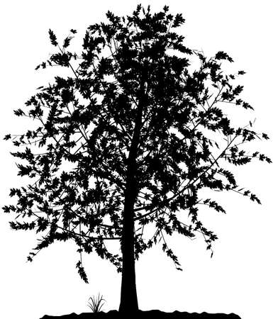 High detailed tree silhouette on white background. Black-And-White contour for your design. Vector illustration.