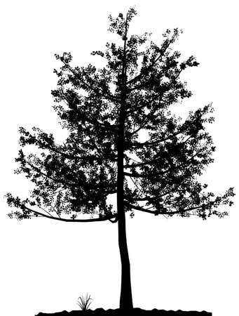 High detailed tree silhouette on white background. Black-And-White contour for your design. Vector illustration. Stock Vector - 3867333