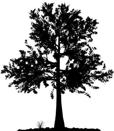 arboles de caricatura: Alta silueta �rbol detallado sobre fondo blanco. En blanco y negro el contorno de su dise�o. Ilustraci�n vectorial.