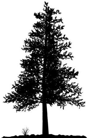 сосна: High detailed tree silhouette on white background. Black-And-White contour for your design. Vector illustration.