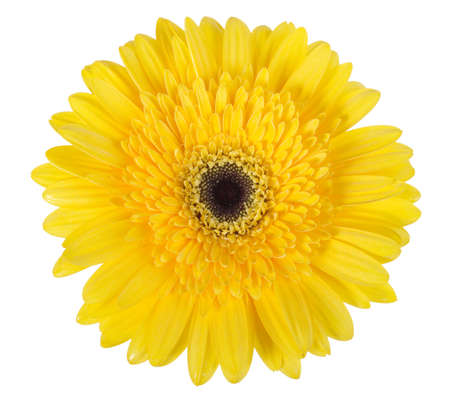 1 object: One yellow flower isolated on white background. Close-up.