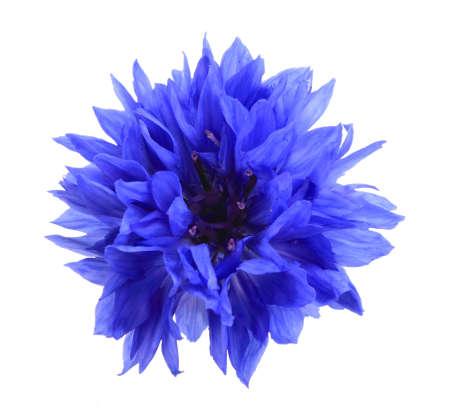 One blue flower isolated on white background. Close-up.  Zdjęcie Seryjne
