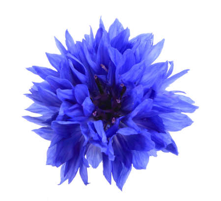 cornflower: One blue flower isolated on white background. Close-up.  Stock Photo