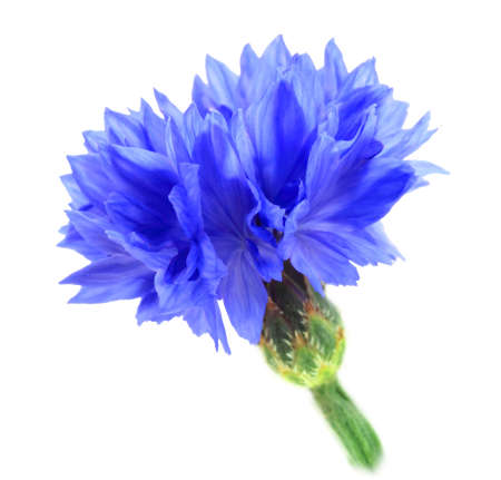 One blue flower isolated on white background. Close-up. Studio photography.