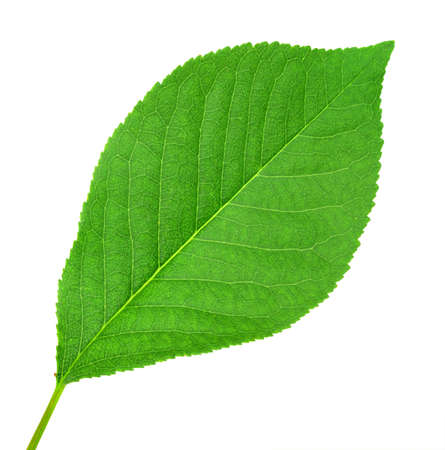 One green leaf of cherry-tree isolated on white background. Close-up. Studio photography. Stock Photo - 7304552
