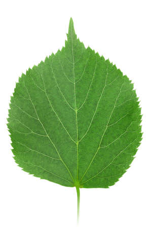 One green leaf of linden-tree isolated on white background. Close-up. photo