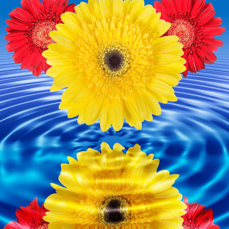 Reflection of red and yellow flowers in blue water. Close-up. Studio photography. Stock Photo - 7332694