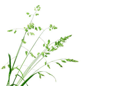 White background with single branch of green grass. Close-up.  Stock Photo - 7661495