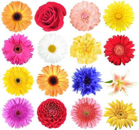 chamomilla: Set of flowers. Isolated on white background. Close-up.