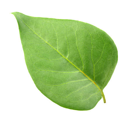 One green leaf isolated on white background. Close-up. Stock Photo - 7826164