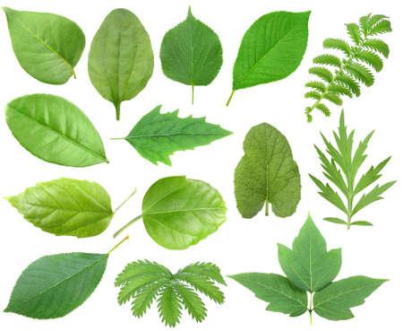 bladeren: Set van groene blad. Geïsoleerd op een witte achtergrond. Close-up.
