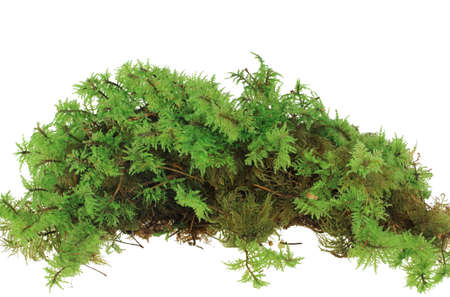 Heap of green moss. Closeup. Isolated on white background.   photo