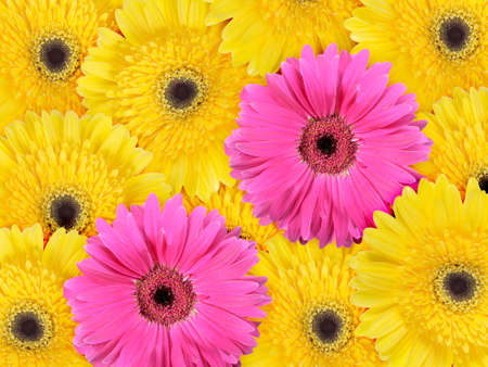 Abstract background of yellow and pink flowers. Close-up. Studio photography. Stock Photo - 8248866