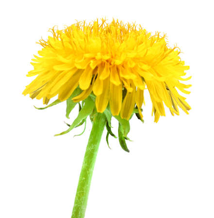 One yellow flower of dandelion isolated on white background. Close-up. Studio photography.