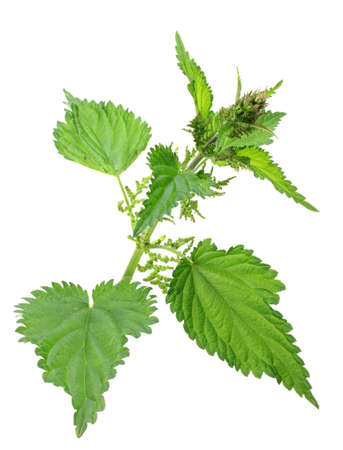stinging nettle: One branch of green nettle with flowers isolated on white background. Close-up. Studio photography. Stock Photo