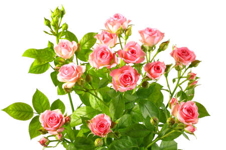 rose photo: Bush with pink roses and green leafes isolated on white background. Close-up.