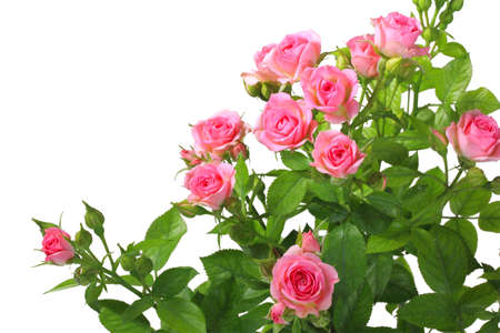 Bush with pink roses and green leafes isolated on white background. Close-up. photo