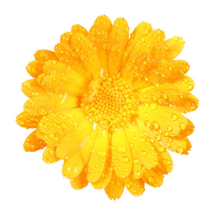 One orange flower of calendula with dew. Isolated on white background. Close-up.