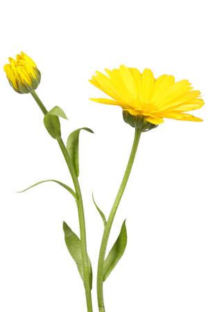 calendula: Yellow flower and bud of calendula on green stalk. Isolated on white background. Close-up. Studio photography. Stock Photo