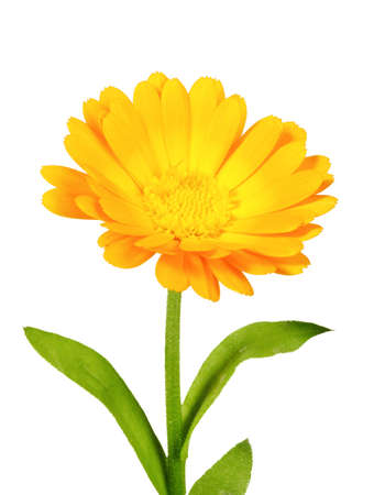 One orange flower of calendula. Isolated on white background. Close-up. Studio photography. Stock Photo