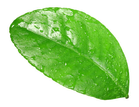 wet leaf: One green leaf with dew-drops of citrus-tree. Isolated on white background. Close-up. Studio photography. Stock Photo