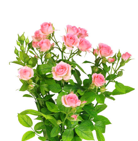 shrubs: Bush with pink roses and green leafes isolated on white background. Close-up. Studio photography. Stock Photo