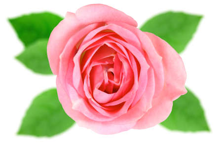 Single pink flower of rose with off-focus green leaf. Isolated on white background. Close-up. Studio photography.