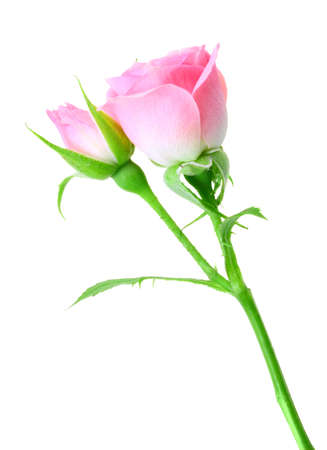 roze: Pink rose and bud on a green stalk. Isolated on white background. Close-up. Studio photography.