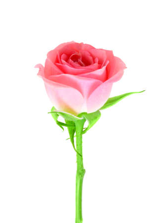 Single pink flower of rose on a green stalk. Isolated on white background. Close-up. Studio photography. Stock Photo