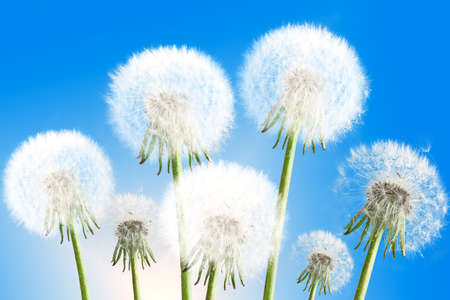 Group of seven fluffy dandelion flowers on blue sky background as white clouds. Close-up. Studio photography. photo