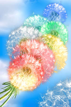 dandelion wind: Group of color fluffy dandelion flowers on blue sky background as rainbow clouds. Close-up. Studio photography.