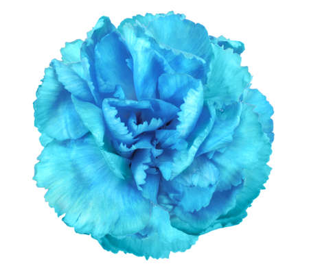 One a blue flower of carnation. Close-up. Isolated on white background. Studio photography. photo