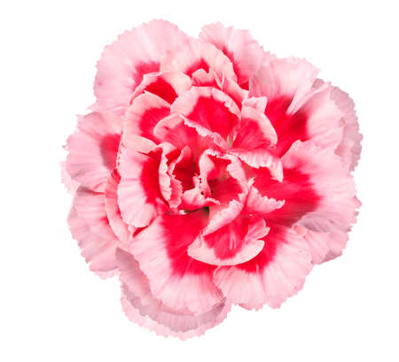One a pink flower of carnation. Close-up. Isolated on white background. Studio photography. photo