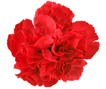 One a red carnation. Close-up. Isolated on white background. Studio photography. Stock Photo - 13370503