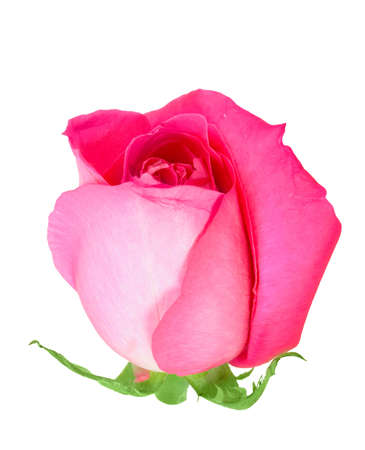 bourgeon: One a pink bud-flower of rose. Close-up. Isolated on white background. Studio photography. Stock Photo