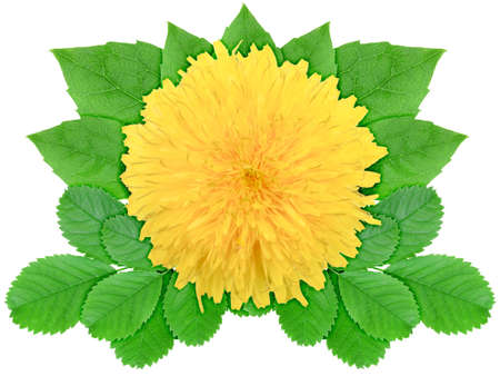 One yellow flower with green leaf. Nature ornament template for your design. Isolated on white background. Close-up. Studio photography. photo