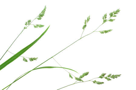 Branch of green grass. Isolated on white background. Close-up. photo