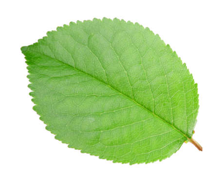 1 object: One green leaf of apple-tree. Isolated on white background. Close-up. Studio photography. Stock Photo