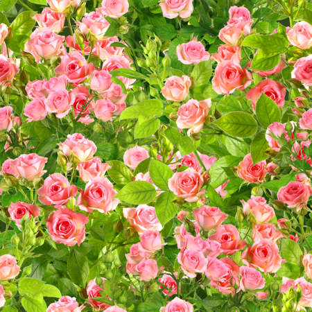 Abstract background of branches with pink roses flowers and green leafs. Seamless pattern for your design. Close-up. Studio photography. Stock Photo - 13678814