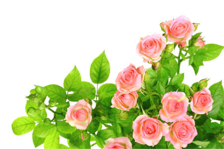 Branch of light pink roses with green leafes. Isolated on white background. Close-up.  photo