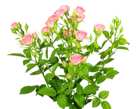 Bouquet of pink roses with green leafes. Isolated on white background. Close-up. .