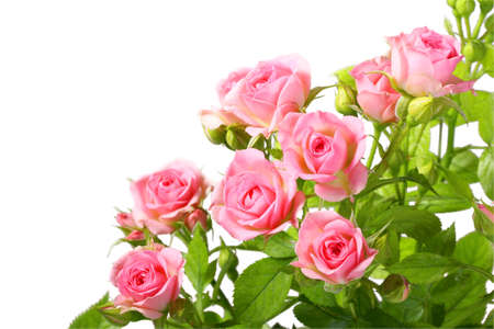 Group of pink roses with green leafes. Isolated on white background. Close-up photo