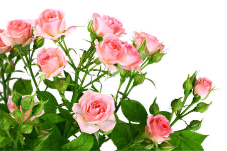 Bush of pink roses with green leafes. Isolated on white background. Close-up. photo
