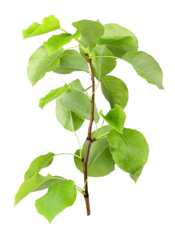 albero di mele: Un giovane germoglio di melo con foglia verde. Isolato su sfondo bianco. Close-up. Studio fotografia. Archivio Fotografico