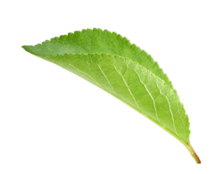 Single green leaf of apple-tree. Isolated on white background. Close-up. Studio photography. Zdjęcie Seryjne