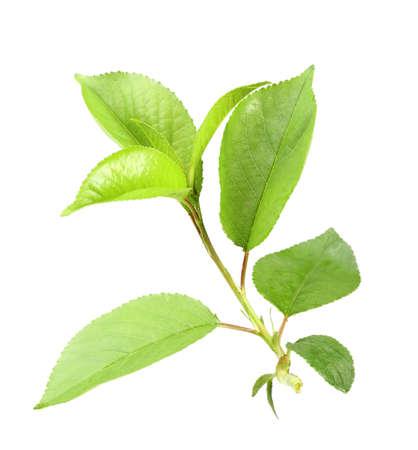 Einzel jungen grünen Spross der Apfelbaum mit Blatt. Isoliert auf weißem Hintergrund. Close-up. Studio Fotografie. Standard-Bild